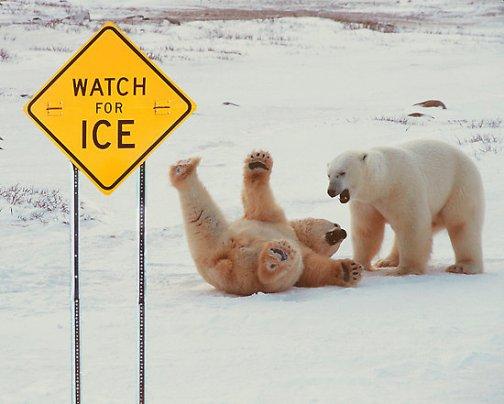 polar bear slipping on ice