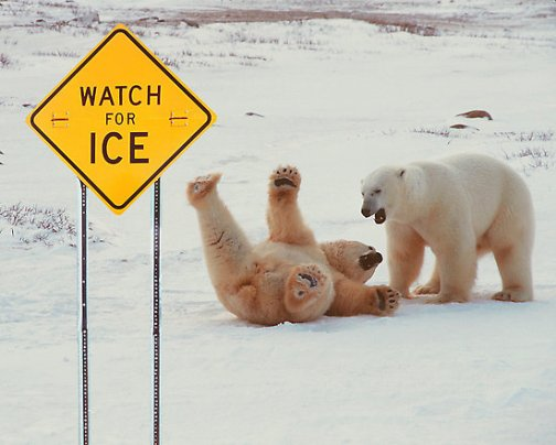 polar bear slipping on ice