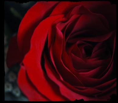 rose blooms www.saturdaysoul.com