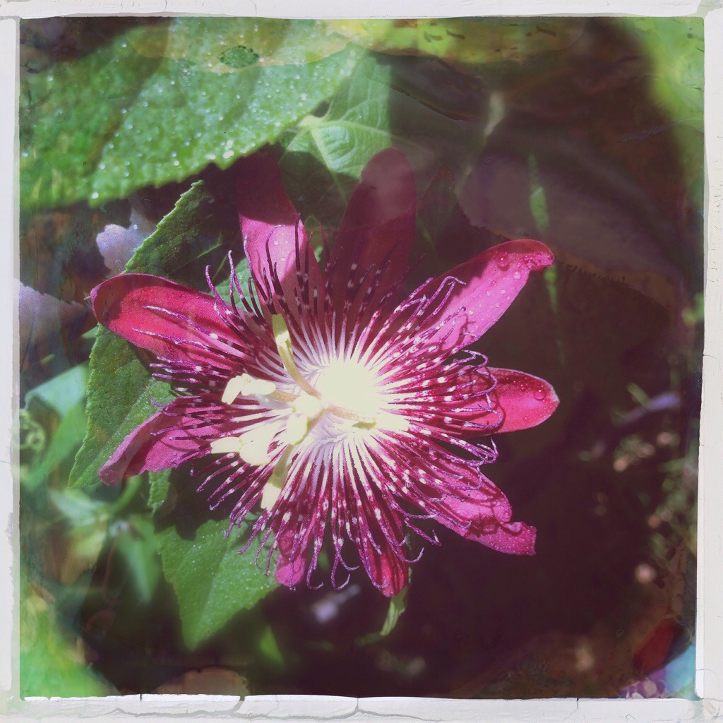 Passion flower blooms at night saturdaysoul.com