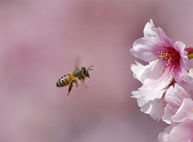 cherry-blossom-bee (1)